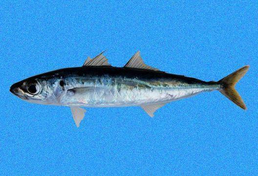 Cá nục chuối