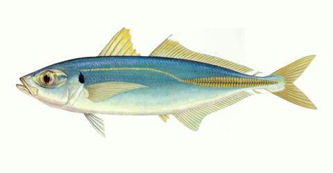 Cá nục gai