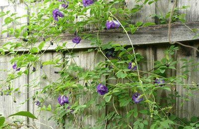 trồng hoa đậu biếc